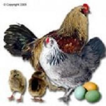 Maran Hühner, Araucana Hühner, Grünleger Hühner, Aus Nachzüchtungen Rassetiere zu Verkaufen, Schutzgeimpft entwurmt 21 bis 24. Wochen alt abzugeben.