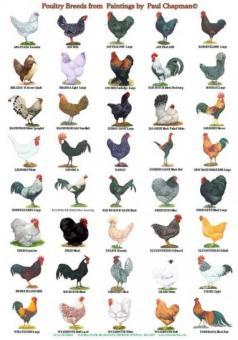 Vorwerk Hühner, Rasse Geflügel, zu verkaufen