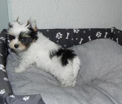 Mini Biewer Yorkshire Terrier weiblich und männlich
