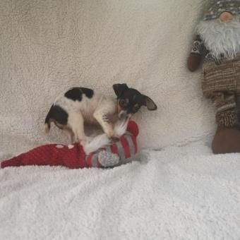 Wunderschön chihuahua Welpen