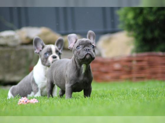 Französische Bulldogge Welpe Hündin Blau Blue Pied Blue Brindle