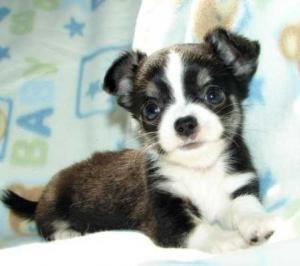 Wunderschöne Chihuahua Welpen mit Papieren