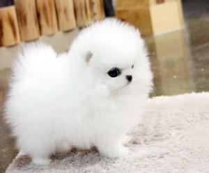 Pomeranian Zwergspitz welpen.