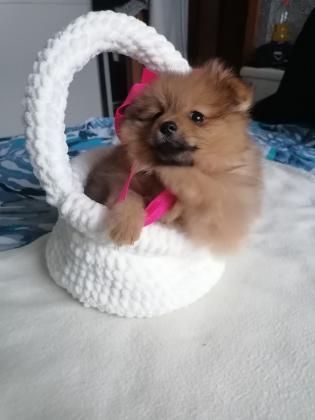 Süße zwergspitz Pomeranian