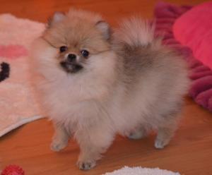 Reinrassige Spitzwelpe Pomeranian welpen