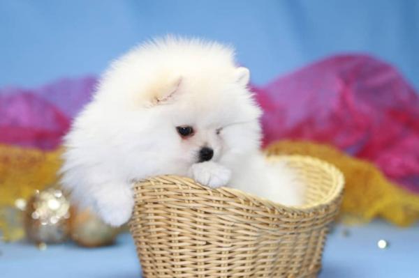 Wunderschöne reinrassige Pomeranian Welpen zu verkaufen.