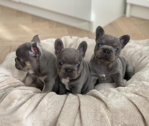Blaue Französische Bulldogge Welpen